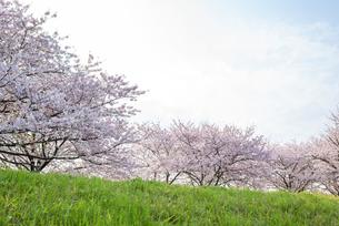 満開の桜並木の写真素材 [FYI04847556]