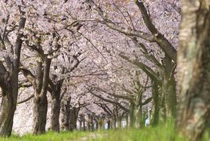 満開の桜並木の写真素材 [FYI04847558]