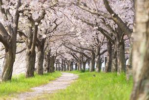 満開の桜並木の写真素材 [FYI04847559]