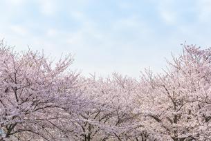 満開の桜並木の写真素材 [FYI04847562]