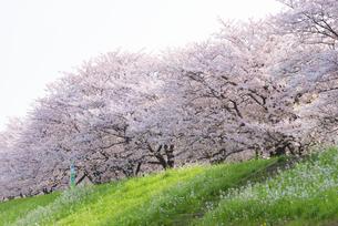 満開の桜並木の写真素材 [FYI04847563]