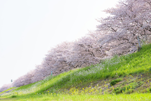 満開の桜並木の写真素材 [FYI04847564]
