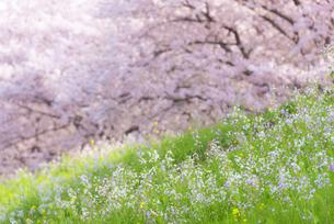 満開の桜並木の写真素材 [FYI04847565]