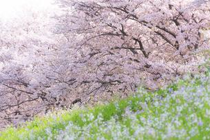 満開の桜並木の写真素材 [FYI04847566]