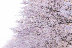 満開の桜並木の写真素材 [FYI04847568]