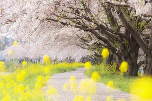 桜並木の写真素材 [FYI04847571]