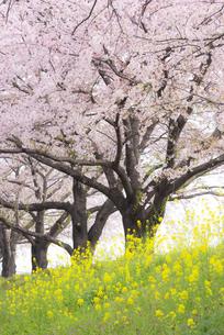 桜並木の写真素材 [FYI04847572]