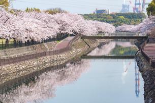 平和市民公園の桜の写真素材 [FYI04847573]