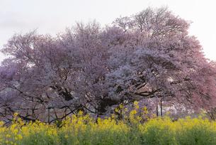 一心行の大桜の写真素材 [FYI04847594]