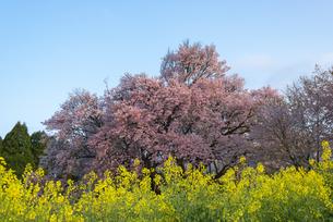 一心行の大桜の写真素材 [FYI04847596]