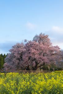 一心行の大桜の写真素材 [FYI04847597]