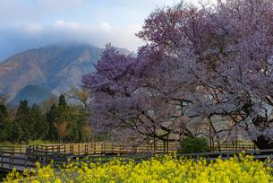 一心行の大桜の写真素材 [FYI04847600]