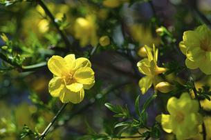 春の黄色い花の写真素材 [FYI04847725]