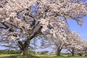 平城宮跡 第一次大極殿と桜の写真素材 [FYI04847760]
