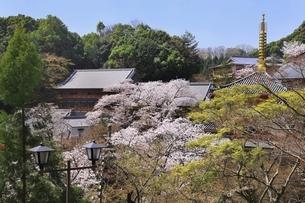信貴山 朝護孫子寺の桜の写真素材 [FYI04847786]