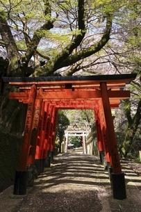 信貴山 朝護孫子寺の桜の写真素材 [FYI04847819]