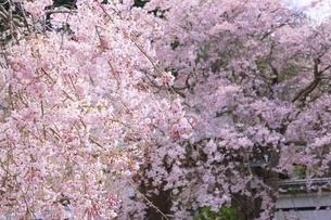桜咲く西念寺 奈良の写真素材 [FYI04847821]