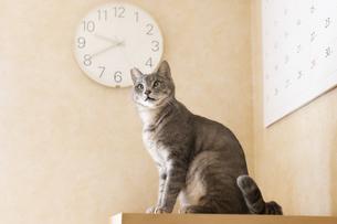 室内にいる猫の写真素材 [FYI04847848]