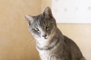 室内飼いの猫の写真素材 [FYI04847850]