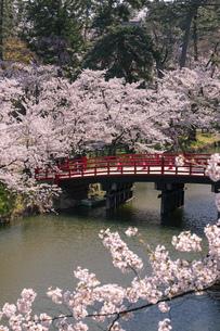 弘前市 弘前公園の満開の桜の写真素材 [FYI04847856]