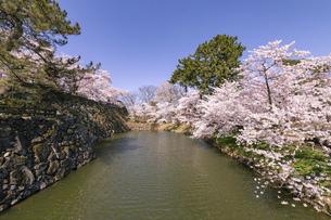 弘前市 弘前公園の満開の桜の写真素材 [FYI04847860]