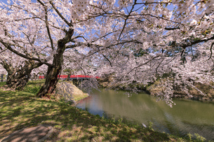 弘前市 弘前公園の満開の桜の写真素材 [FYI04847875]