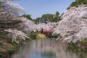 弘前市 弘前公園の満開の桜の写真素材 [FYI04847879]
