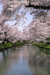 弘前市 弘前公園の満開の桜の写真素材 [FYI04847891]