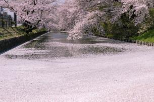 弘前市 弘前公園の満開の桜の写真素材 [FYI04847893]