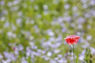 ポピーとネモフィラの花畑の写真素材 [FYI04848078]