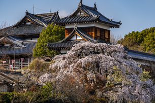 大和郡山城枝垂れ桜の写真素材 [FYI04848147]