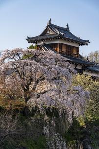 大和郡山城枝垂れ桜の写真素材 [FYI04848151]
