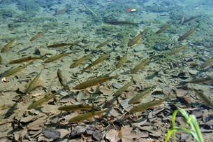 プリトヴィツェ湖群国立公園で泳ぐ魚の群れの写真素材 [FYI04848221]
