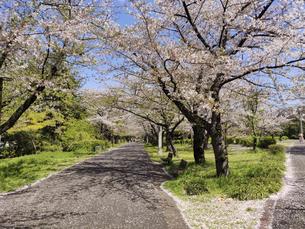 散った花びらが地面を覆う桜並木の写真素材 [FYI04848224]