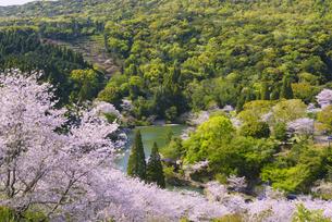 桜の市来観音ヶ池公園の写真素材 [FYI04848369]