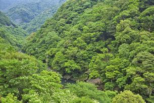 照葉樹林の森の写真素材 [FYI04848370]