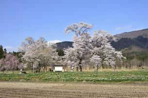 置賜桜回廊 十二の桜の写真素材 [FYI04848432]
