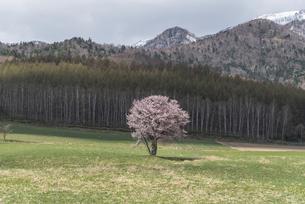 富良野の一本桜2021の写真素材 [FYI04848535]