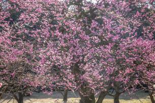 栗林公園の梅の写真素材 [FYI04848608]