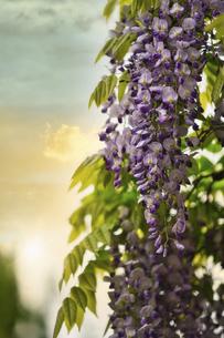 夕陽と藤の花の写真素材 [FYI04848609]