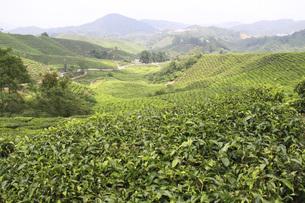 マレーシア・キャメロンハイランドの紅茶畑の写真素材 [FYI04848682]