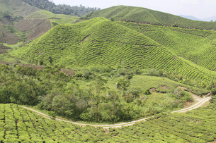 マレーシア・キャメロンハイランドの紅茶畑の写真素材 [FYI04848683]