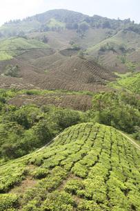 マレーシア・キャメロンハイランドの紅茶畑の写真素材 [FYI04848685]