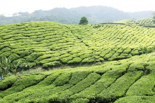 マレーシア・キャメロンハイランドの紅茶畑の写真素材 [FYI04848686]