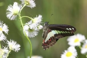ハルジオンの花の蜜を吸うアオスジアゲハの写真素材 [FYI04848690]