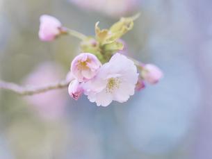 桜の写真素材 [FYI04848711]