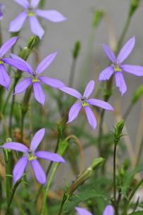 満開の紫色のイトソマの写真素材 [FYI04848719]