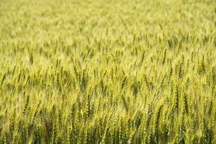 緑のムギ畑の写真素材 [FYI04848740]