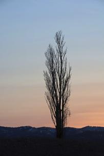 美しい夕暮れの空とポプラの木のシルエットの写真素材 [FYI04848742]