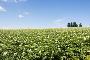 ジャガイモ畑と夏空の写真素材 [FYI04848746]